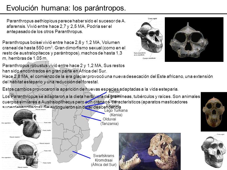 Evolución humana: los parántropos.
