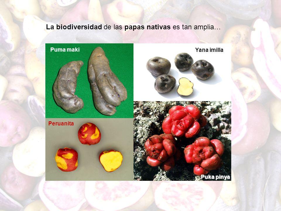 La biodiversidad de las papas nativas es tan amplia…
