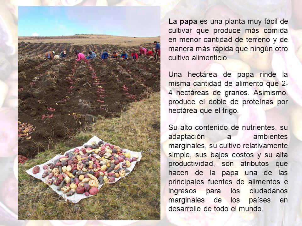 La papa es una planta muy fácil de cultivar que produce más comida en menor cantidad de terreno y de manera más rápida que ningún otro cultivo alimenticio.