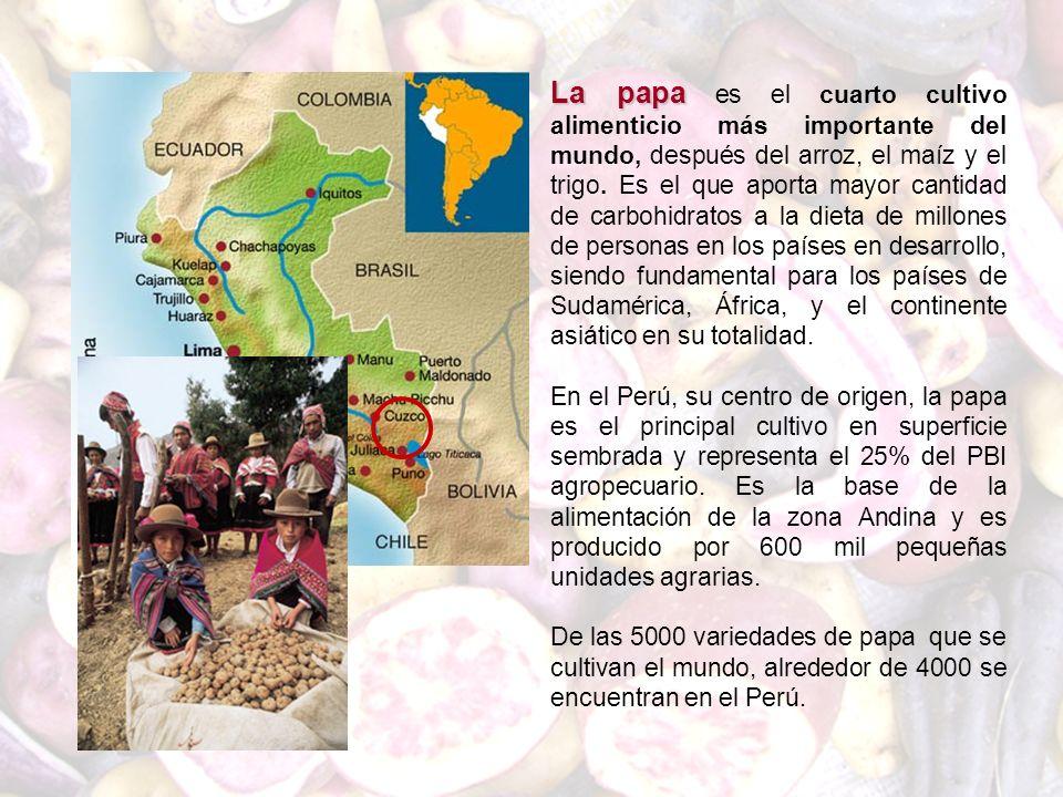 La papa es el cuarto cultivo alimenticio más importante del mundo, después del arroz, el maíz y el trigo. Es el que aporta mayor cantidad de carbohidratos a la dieta de millones de personas en los países en desarrollo, siendo fundamental para los países de Sudamérica, África, y el continente asiático en su totalidad.