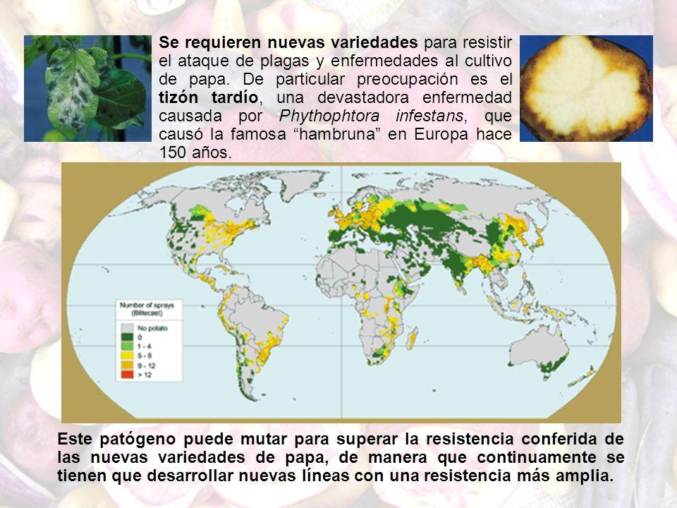 Se requieren nuevas variedades para resistir el ataque de plagas y enfermedades al cultivo de papa. De particular preocupación es el tizón tardío, una devastadora enfermedad causada por Phythophtora infestans, que causó la famosa hambruna en Europa hace 150 años.