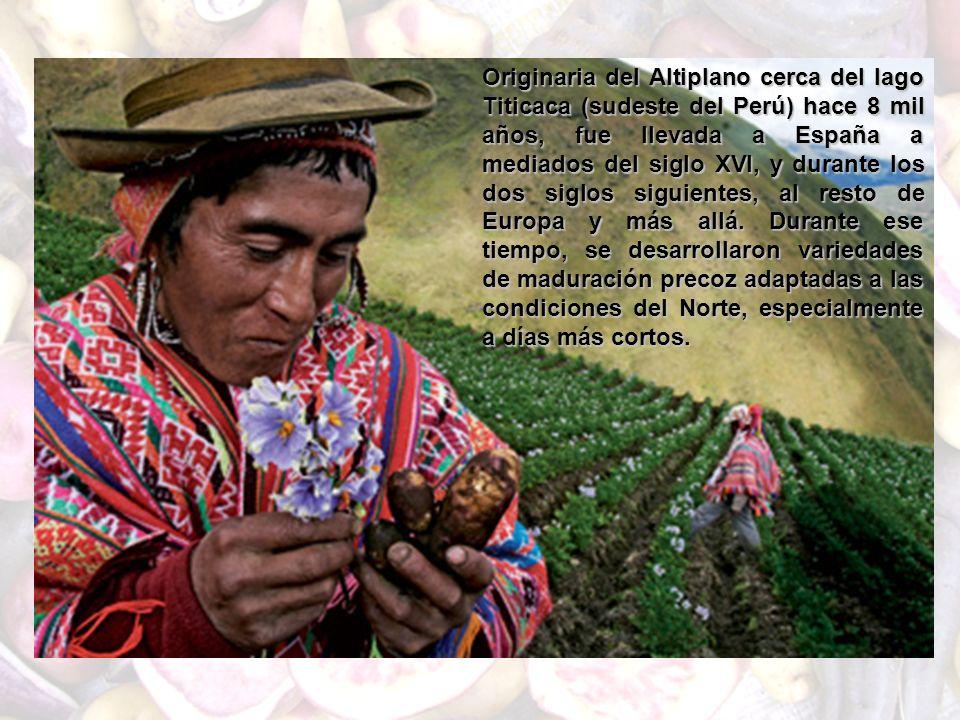 Originaria del Altiplano cerca del lago Titicaca (sudeste del Perú) hace 8 mil años, fue llevada a España a mediados del siglo XVI, y durante los dos siglos siguientes, al resto de Europa y más allá.