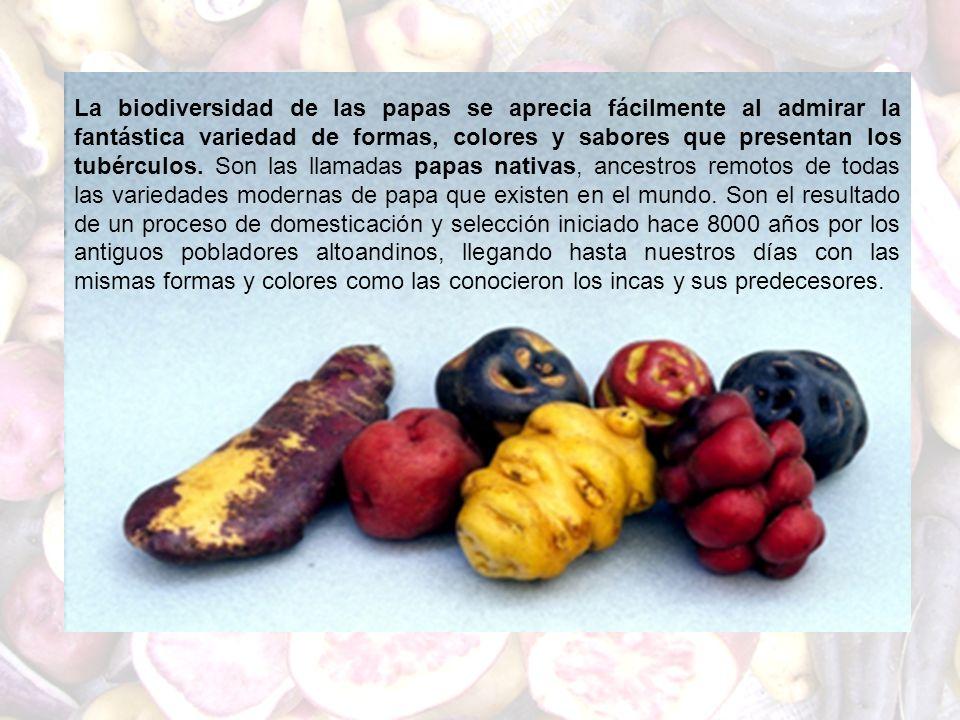 La biodiversidad de las papas se aprecia fácilmente al admirar la fantástica variedad de formas, colores y sabores que presentan los tubérculos.