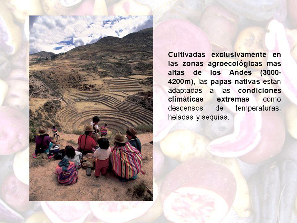 Cultivadas exclusivamente en las zonas agroecológicas mas altas de los Andes (3000-4200m), las papas nativas están adaptadas a las condiciones climáticas extremas como descensos de temperaturas, heladas y sequías.