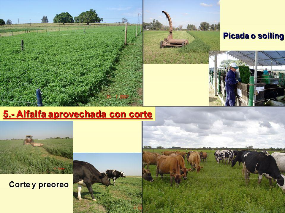 5.- Alfalfa aprovechada con corte