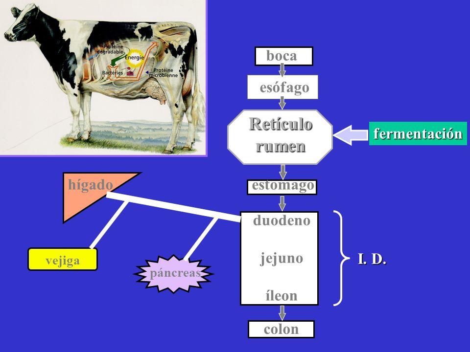 Retículo rumen boca esófago estomago duodeno jejuno íleon hígado colon