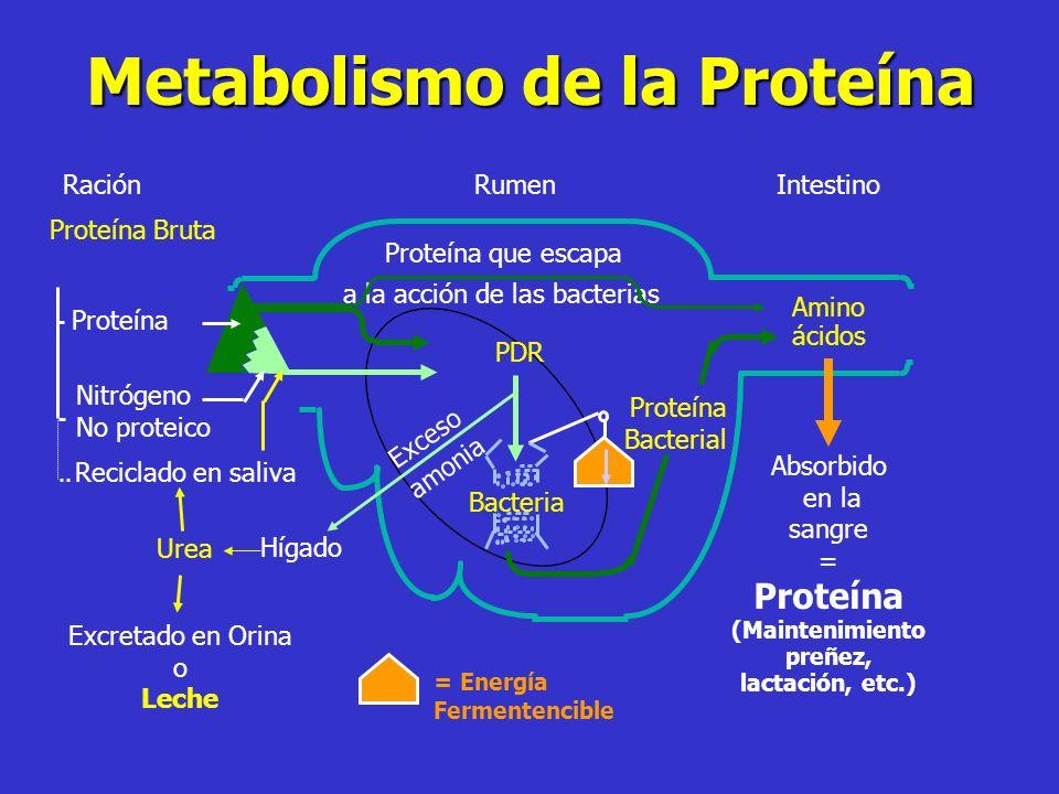 Metabolismo de la Proteína