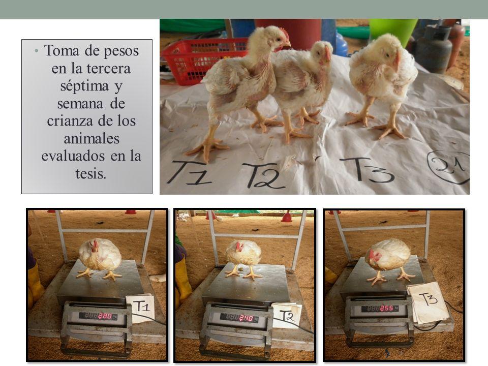 Toma de pesos en la tercera séptima y semana de crianza de los animales evaluados en la tesis.