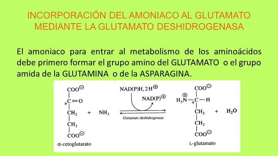 INCORPORACIÓN DEL AMONIACO AL GLUTAMATO MEDIANTE LA GLUTAMATO DESHIDROGENASA