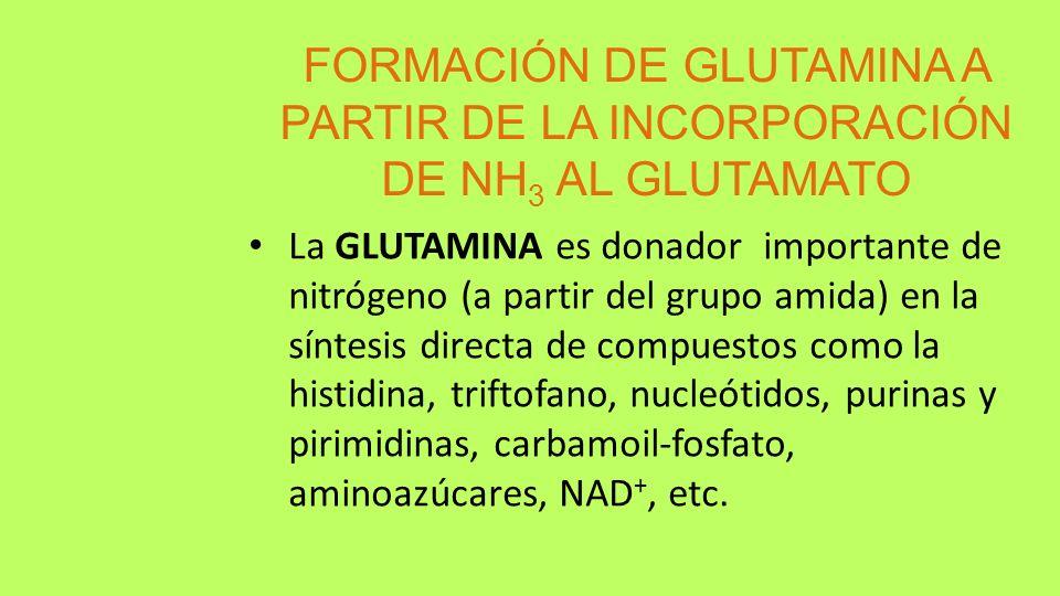 FORMACIÓN DE GLUTAMINA A PARTIR DE LA INCORPORACIÓN DE NH3 AL GLUTAMATO