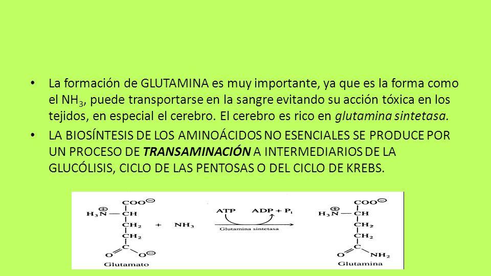 La formación de GLUTAMINA es muy importante, ya que es la forma como el NH3, puede transportarse en la sangre evitando su acción tóxica en los tejidos, en especial el cerebro. El cerebro es rico en glutamina sintetasa.