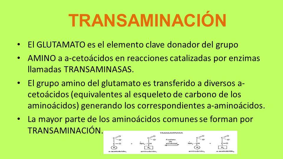 TRANSAMINACIÓN El GLUTAMATO es el elemento clave donador del grupo
