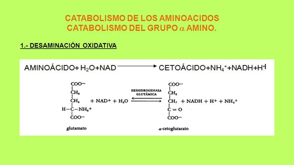 CATABOLISMO DE LOS AMINOACIDOS CATABOLISMO DEL GRUPO  AMINO.