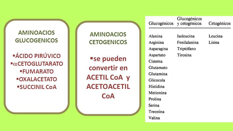 se pueden convertir en ACETIL CoA y ACETOACETIL CoA