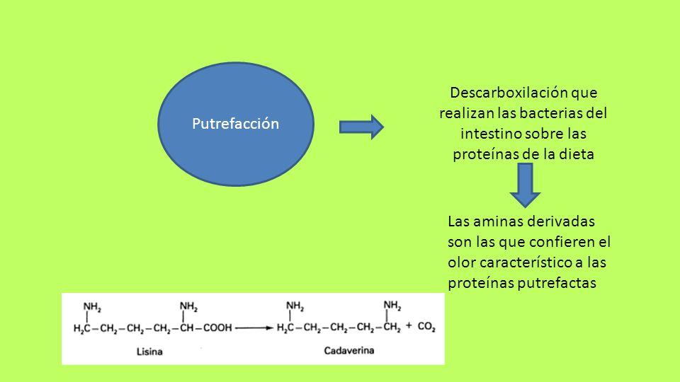 Putrefacción Descarboxilación que realizan las bacterias del intestino sobre las proteínas de la dieta.