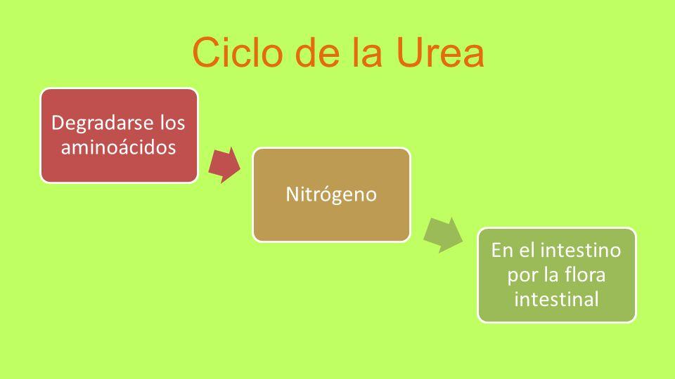 Ciclo de la Urea Degradarse los aminoácidos Nitrógeno