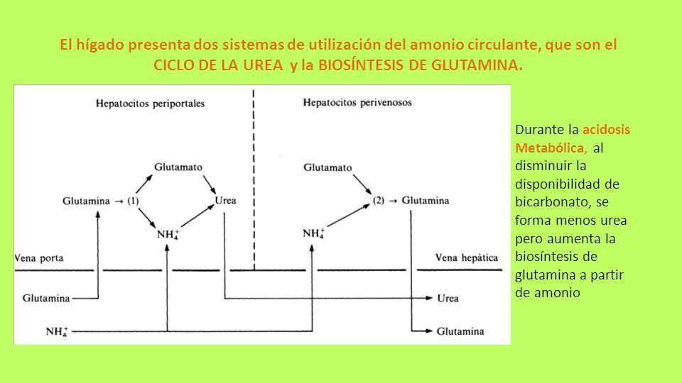 El hígado presenta dos sistemas de utilización del amonio circulante, que son el CICLO DE LA UREA y la BIOSÍNTESIS DE GLUTAMINA.
