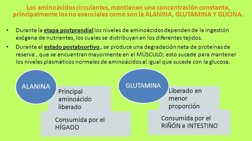 Los aminoácidos circulantes, mantienen una concentración constante, principalmente los no esenciales como son la ALANINA, GLUTAMINA Y GLICINA.