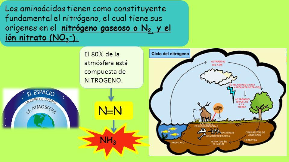 Los aminoácidos tienen como constituyente fundamental el nitrógeno, el cual tiene sus orígenes en el nitrógeno gaseoso o N2, y el ión nitrato (NO3-).
