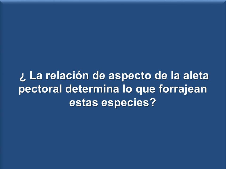 Relación de aspecto (RA) de la aleta pectoral.