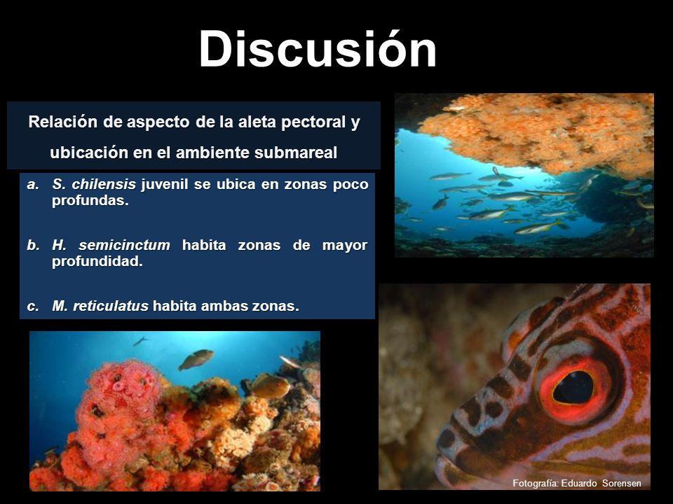 Discusión Relación de aspecto de la aleta pectoral y ubicación en el ambiente submareal. S. chilensis juvenil se ubica en zonas poco profundas.