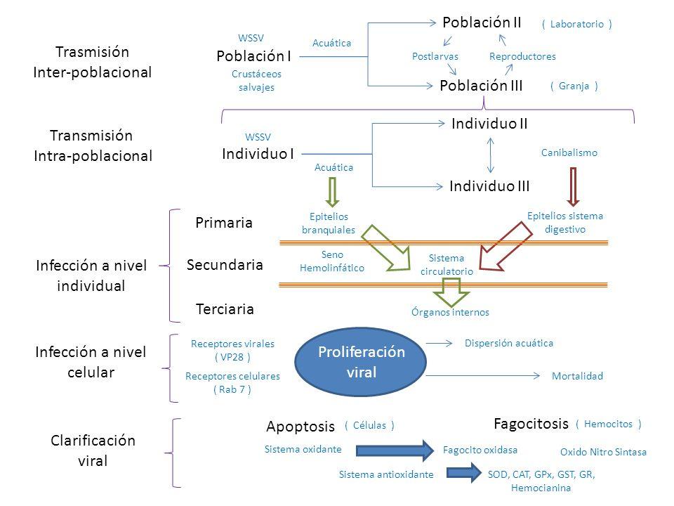 Infección a nivel individual Secundaria