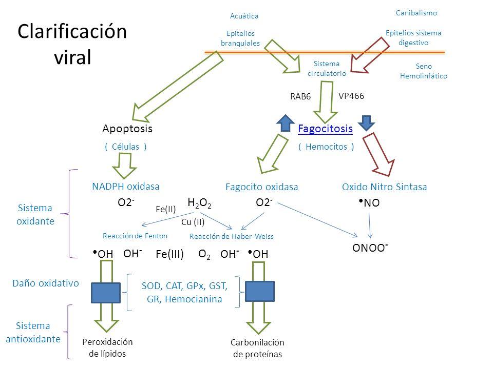 Clarificación viral Apoptosis Fagocitosis O2- H2O2 O2- ●NO ONOO- ●OH