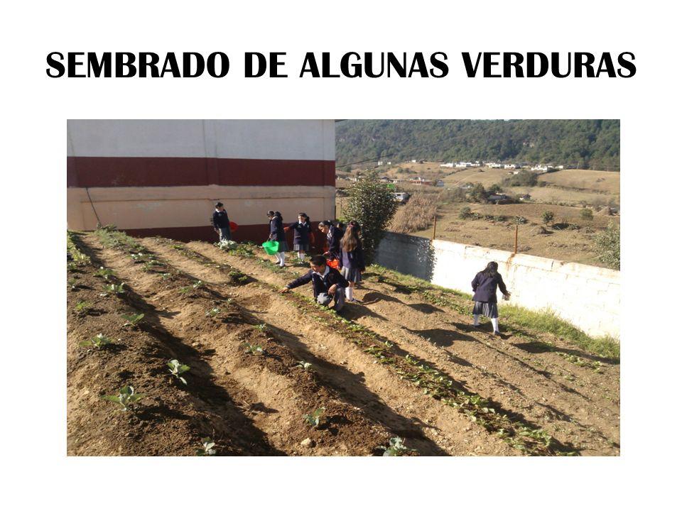 SEMBRADO DE ALGUNAS VERDURAS