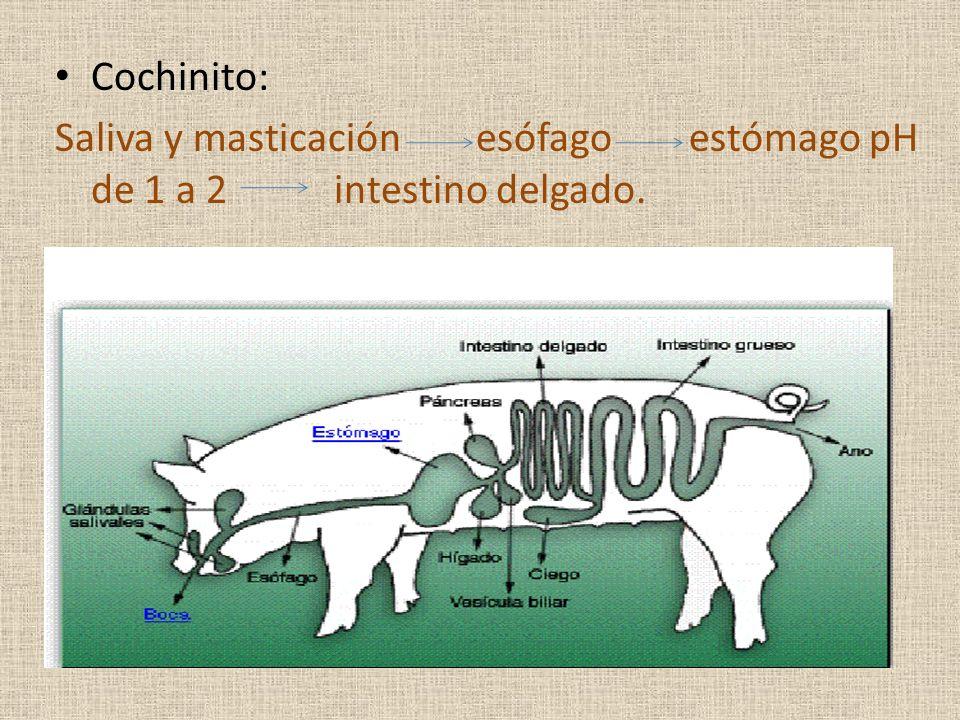 Cochinito: Saliva y masticación esófago estómago pH de 1 a 2 intestino delgado.