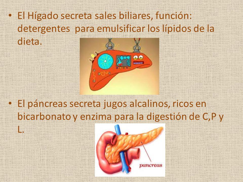 El Hígado secreta sales biliares, función: detergentes para emulsificar los lípidos de la dieta.