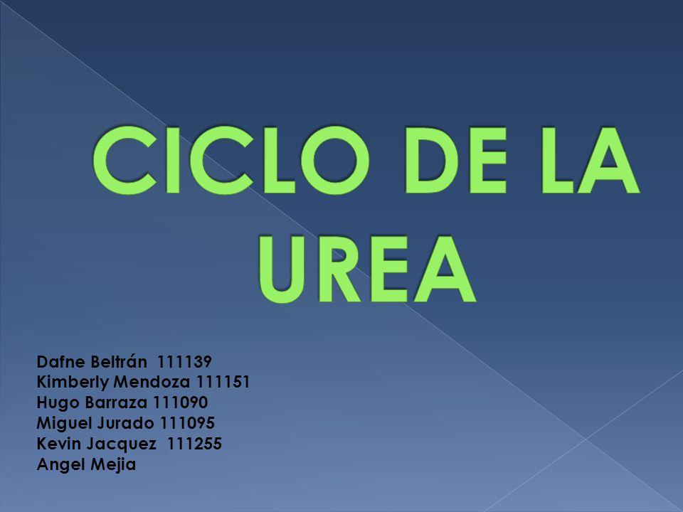 CICLO DE LA UREA Dafne Beltrán 111139 Kimberly Mendoza 111151 Hugo Barraza 111090 Miguel Jurado 111095 Kevin Jacquez 111255 Angel Mejia.