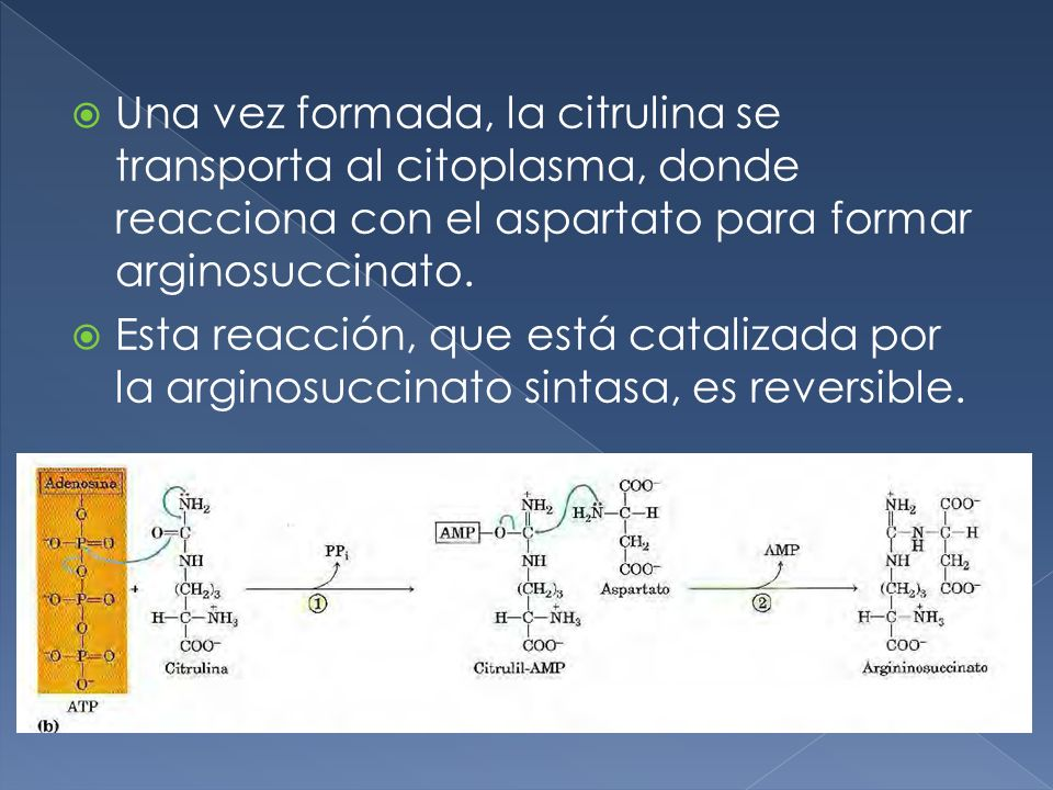 Una vez formada, la citrulina se transporta al citoplasma, donde reacciona con el aspartato para formar arginosuccinato.