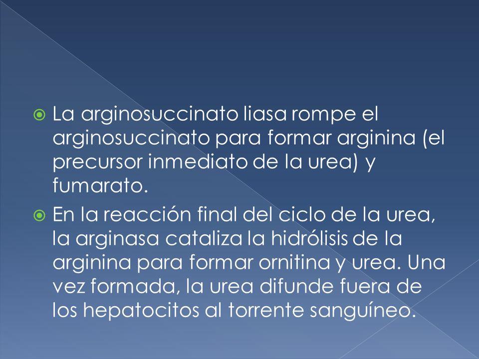 La arginosuccinato liasa rompe el arginosuccinato para formar arginina (el precursor inmediato de la urea) y fumarato.