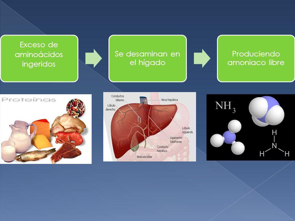 Exceso de aminoácidos ingeridos Se desaminan en el hígado