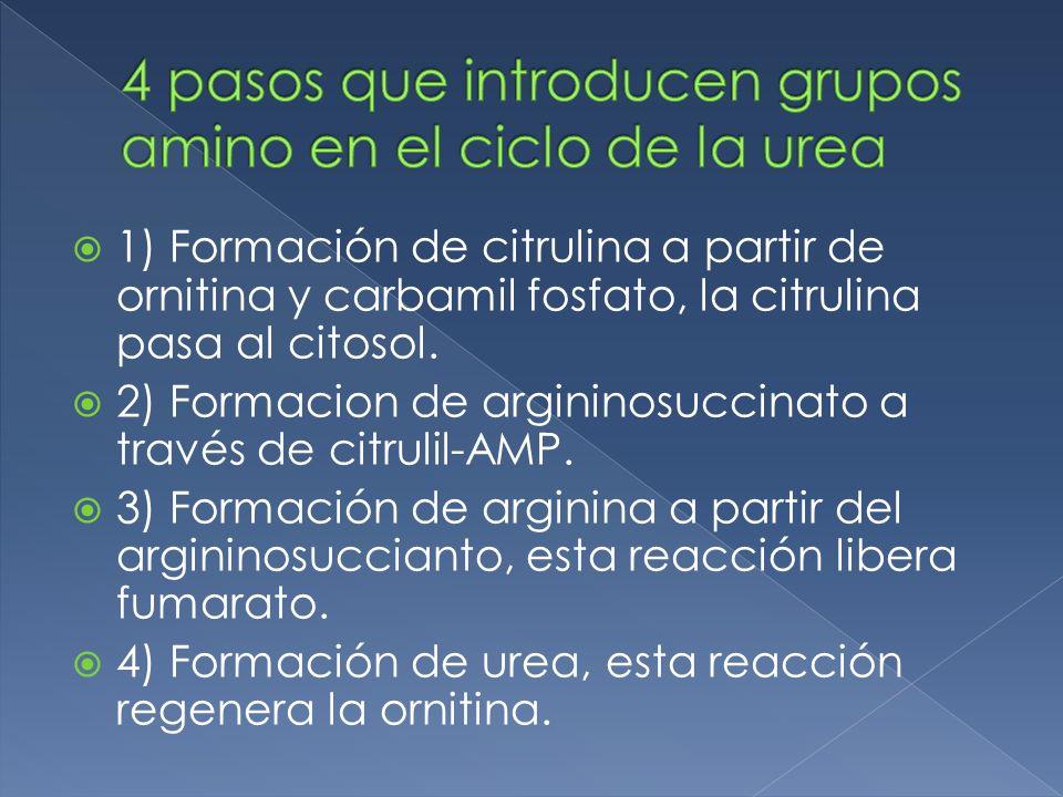 4 pasos que introducen grupos amino en el ciclo de la urea