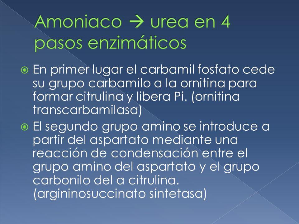 Amoniaco  urea en 4 pasos enzimáticos