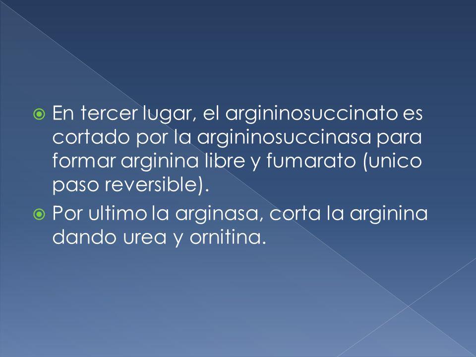 En tercer lugar, el argininosuccinato es cortado por la argininosuccinasa para formar arginina libre y fumarato (unico paso reversible).