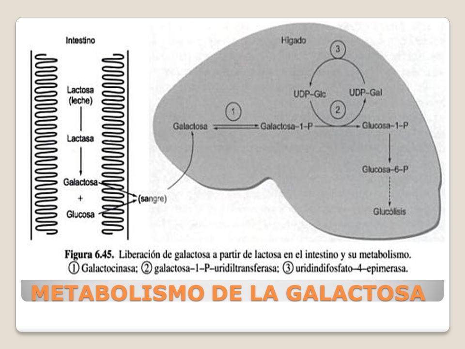 METABOLISMO DE LA GALACTOSA