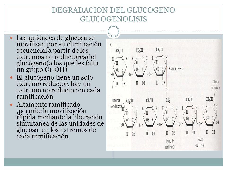 DEGRADACION DEL GLUCOGENO GLUCOGENOLISIS