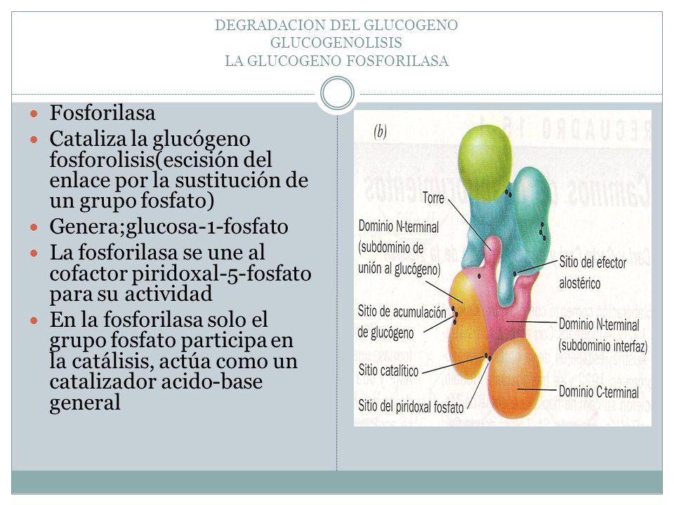 DEGRADACION DEL GLUCOGENO GLUCOGENOLISIS LA GLUCOGENO FOSFORILASA