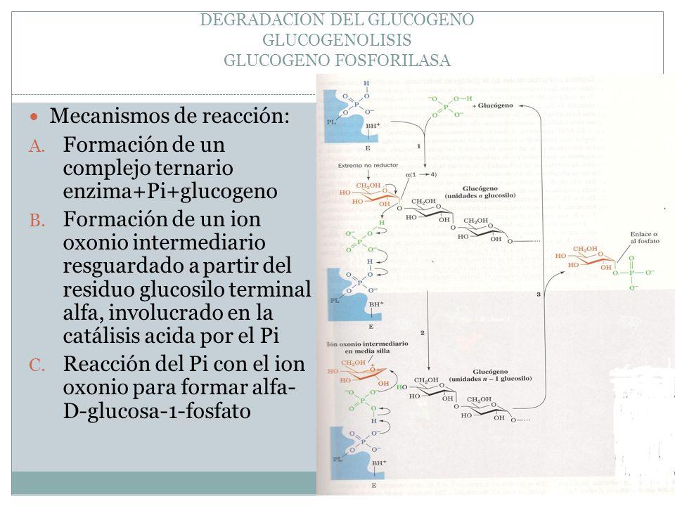 DEGRADACION DEL GLUCOGENO GLUCOGENOLISIS GLUCOGENO FOSFORILASA