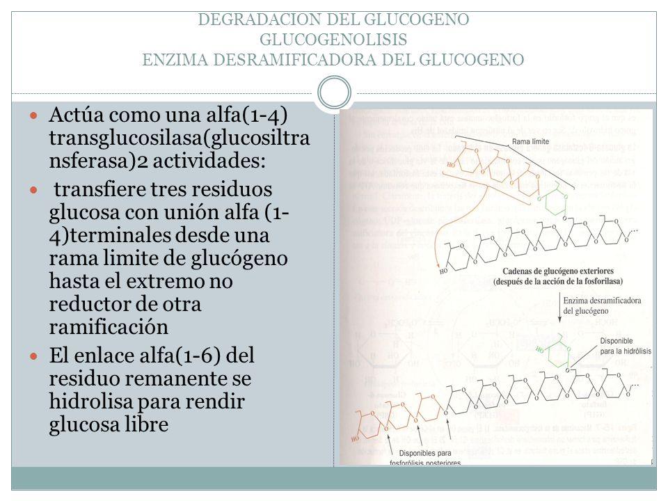 DEGRADACION DEL GLUCOGENO GLUCOGENOLISIS ENZIMA DESRAMIFICADORA DEL GLUCOGENO