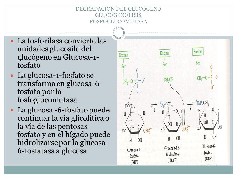 DEGRADACION DEL GLUCOGENO GLUCOGENOLISIS FOSFOGLUCOMUTASA