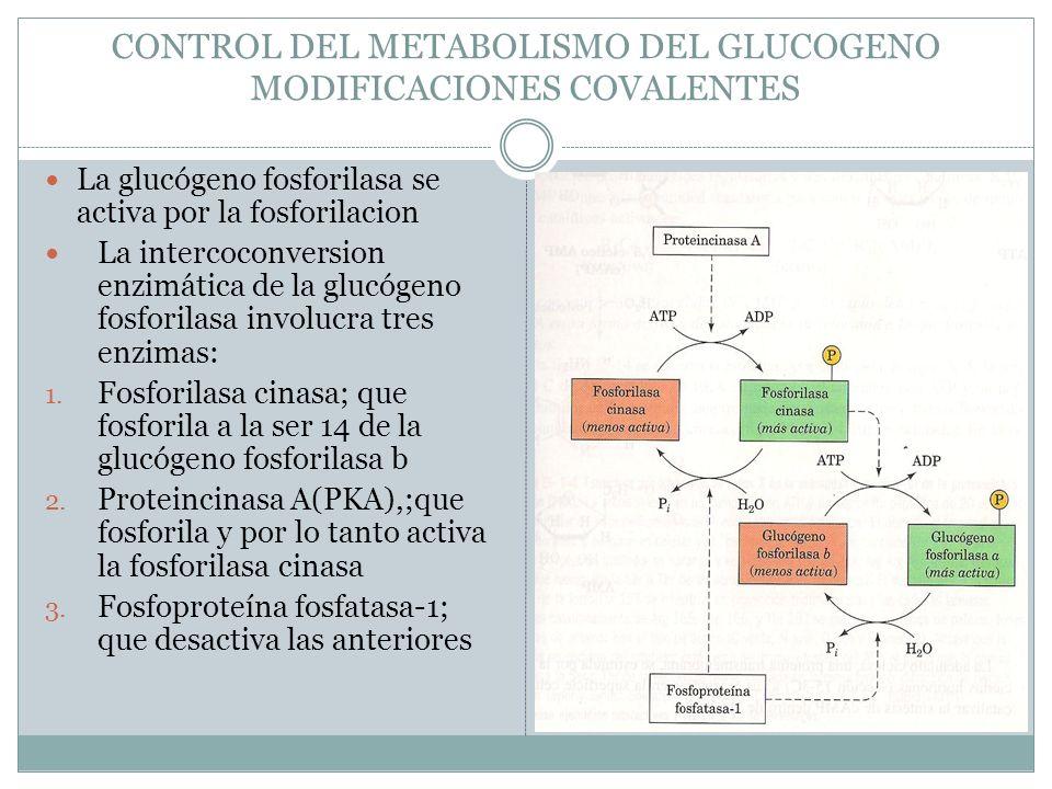 CONTROL DEL METABOLISMO DEL GLUCOGENO MODIFICACIONES COVALENTES