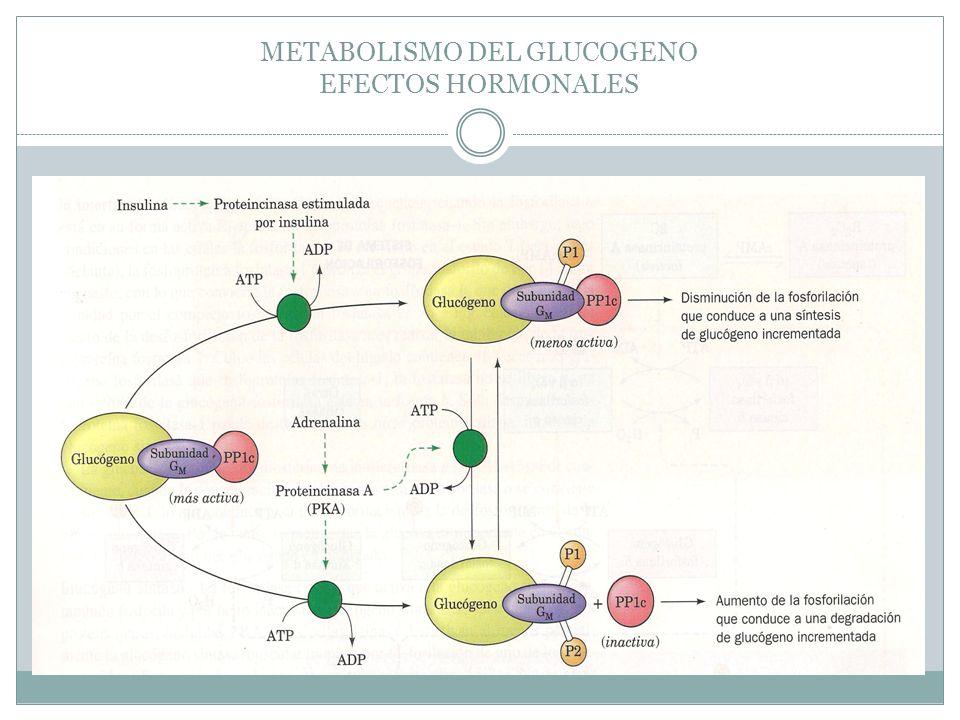 METABOLISMO DEL GLUCOGENO EFECTOS HORMONALES