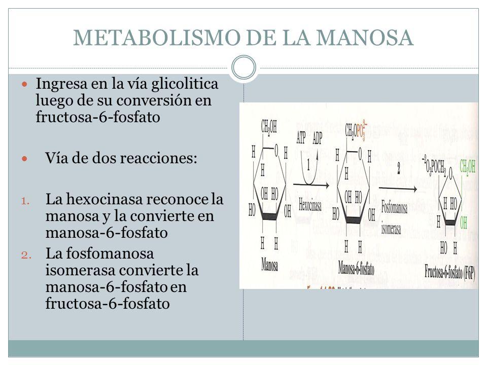 METABOLISMO DE LA MANOSA