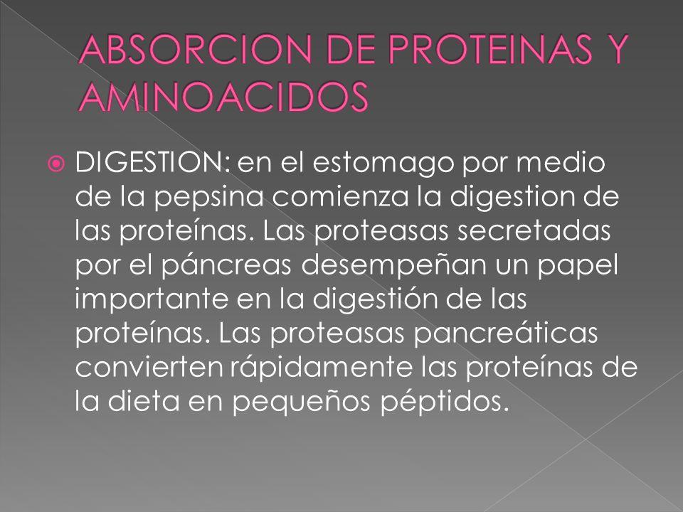 ABSORCION DE PROTEINAS Y AMINOACIDOS