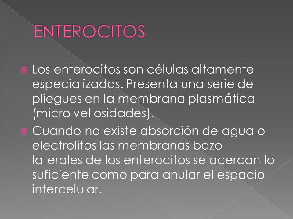 ENTEROCITOS Los enterocitos son células altamente especializadas. Presenta una serie de pliegues en la membrana plasmática (micro vellosidades).