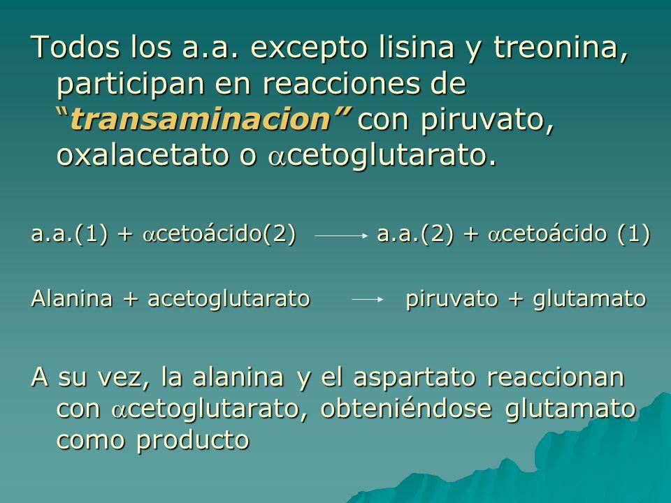 Todos los a.a. excepto lisina y treonina, participan en reacciones de transaminacion con piruvato, oxalacetato o acetoglutarato.