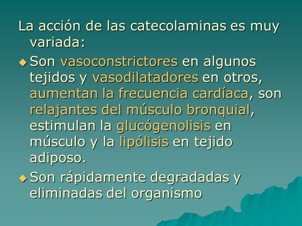 La acción de las catecolaminas es muy variada: